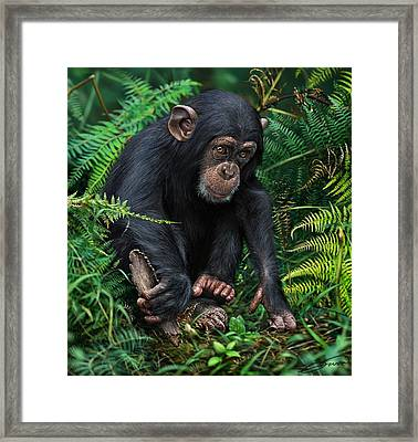 Young Chimpanzee With Tool Framed Print by Owen Bell