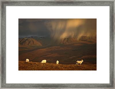 Young Dall Rams On Hillside Before Framed Print by Steven Kazlowski