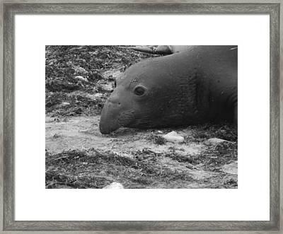 Young Elephant Seal Bull Framed Print by Gwendolyn Barnhart