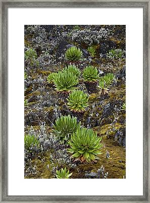 Young Giant Groundsels (dendrosenecio Framed Print by Martin Zwick