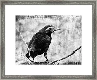 Young Grackle Framed Print by Cassie Peters