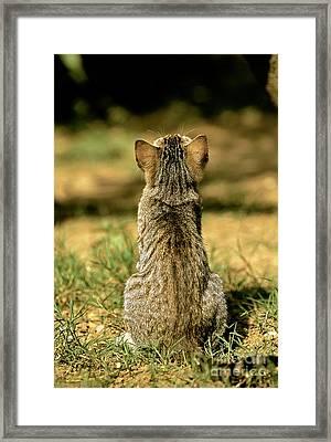 Young House Cat Framed Print by Christian Grzimek/Okapia