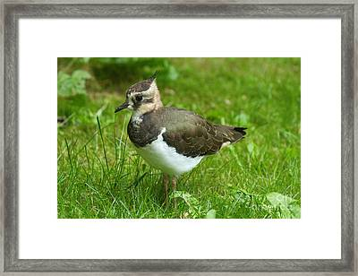 Young Lapwing Framed Print by Helmut Pieper