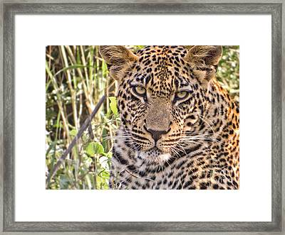 Young Leopard Framed Print by Delphimages Photo Creations