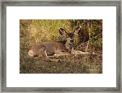 Young Mule Deer Framed Print by Robert Bales