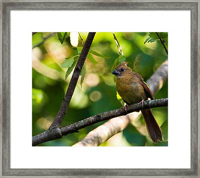 Fledgling Northern Cardinal 1 Framed Print by Christy Cox