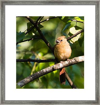 Fledgling Northern Cardinal 2 Framed Print by Christy Cox