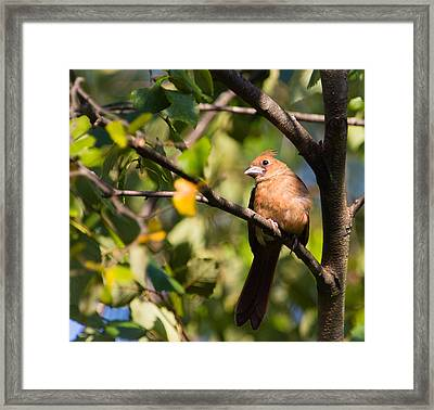 Fledgling Northern Cardinal 3 Framed Print by Christy Cox