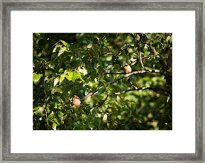 Fledgling Northern Cardinal Siblings Framed Print by Christy Cox