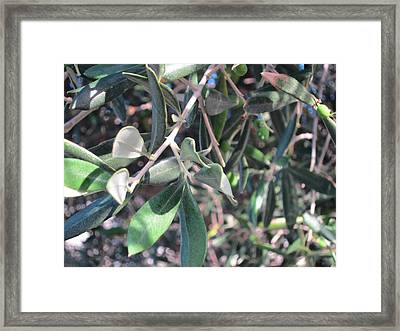 Young Olives Framed Print by Pema Hou