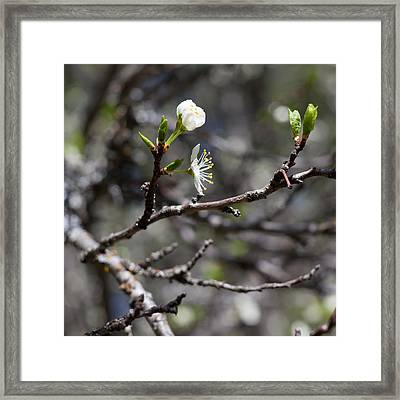 Young Plums Framed Print by Aaron Aldrich