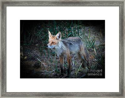 Young Red Fox Framed Print by Robert Bales