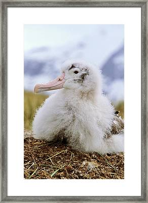 Young Wandering Albatross (diomendea Framed Print by Martin Zwick