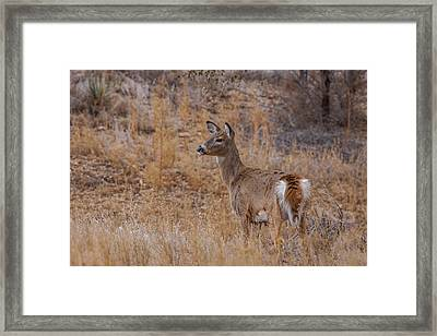 Young Whitetail Deer Framed Print by Ernie Echols
