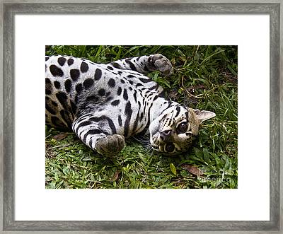 Young Wildcat Framed Print by Heiko Koehrer-Wagner