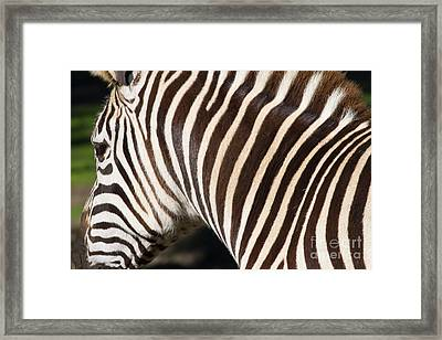 Zebra 7d8894 Framed Print by Wingsdomain Art and Photography