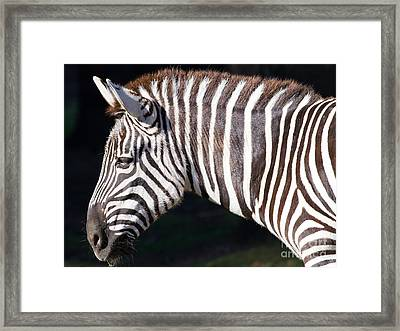 Zebra 7d8908 Framed Print by Wingsdomain Art and Photography