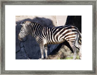 Zebra 7d8945 Framed Print by Wingsdomain Art and Photography