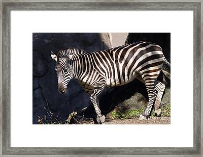 Zebra 7d8947 Framed Print by Wingsdomain Art and Photography