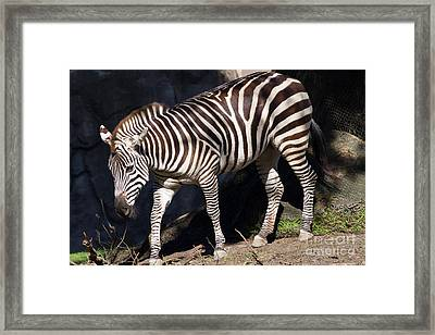 Zebra 7d8948 Framed Print by Wingsdomain Art and Photography