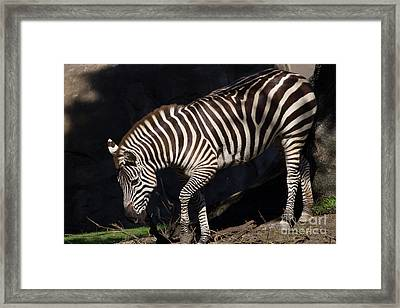 Zebra 7d8949 Framed Print by Wingsdomain Art and Photography