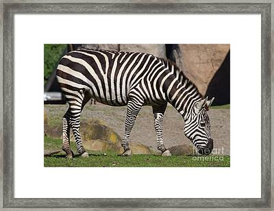 Zebra 7d8965 Framed Print by Wingsdomain Art and Photography
