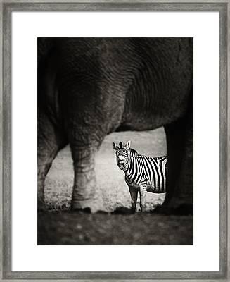 Zebra Barking Framed Print by Johan Swanepoel