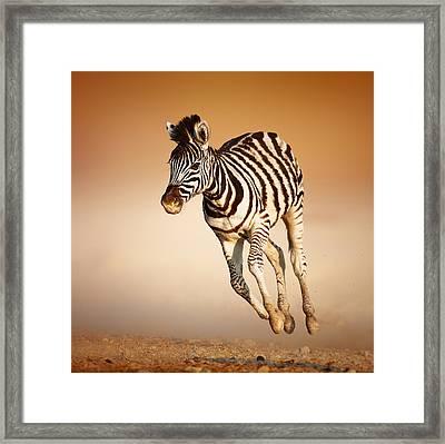 Zebra Calf Running Framed Print by Johan Swanepoel