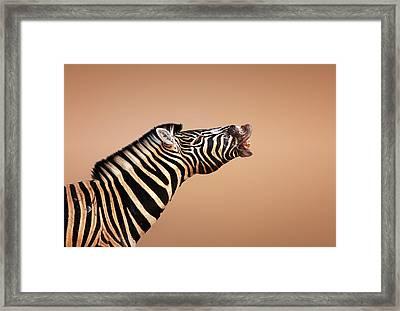Zebra Calling Framed Print by Johan Swanepoel