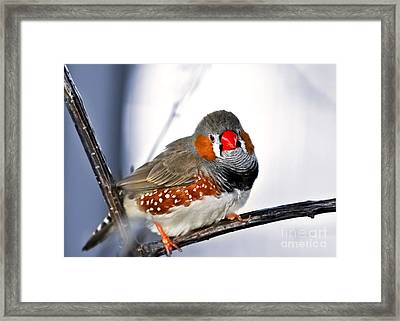 Zebra Finch Framed Print by Elena Elisseeva