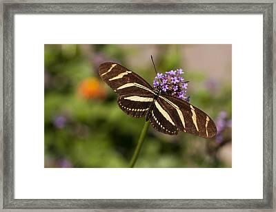 Zebra Longwing Butterfly Framed Print by Adam Romanowicz
