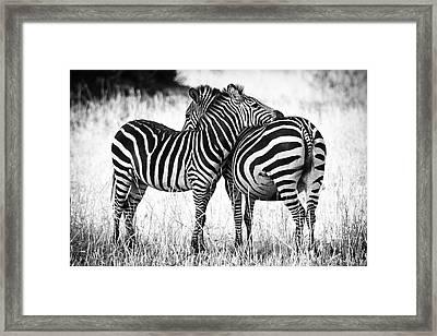 Zebra Love Framed Print by Adam Romanowicz