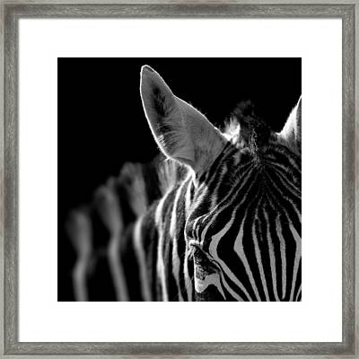 Portrait Of Zebra In Black And White Framed Print by Lukas Holas