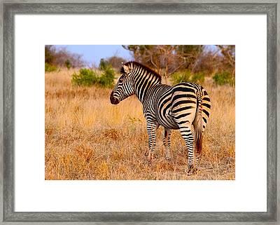 Zebra Framed Print by Michael Blesius