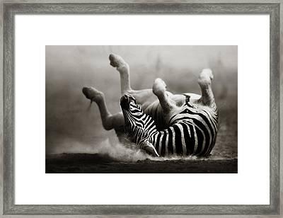 Zebra Rolling Framed Print by Johan Swanepoel