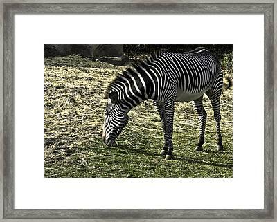 Zebra Striped Fourlegger Framed Print by LeeAnn McLaneGoetz McLaneGoetzStudioLLCcom