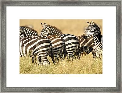 Zebra Stripes Framed Print by Phyllis Peterson