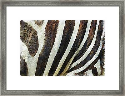 Zebra Texture Framed Print by Ayse Deniz