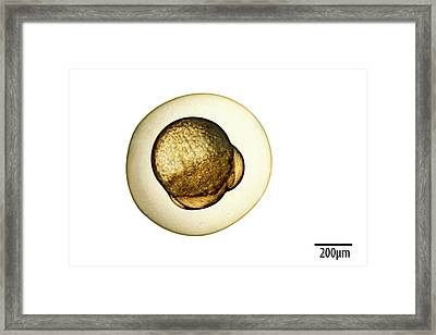 Zebrafish Framed Print by Alex Hyde