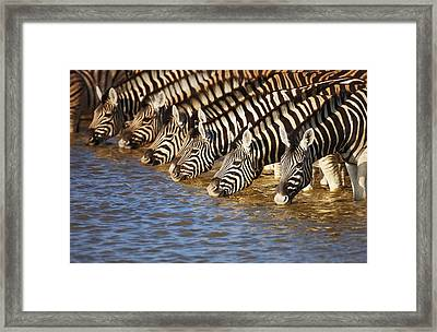 Zebras Drinking Framed Print by Johan Swanepoel