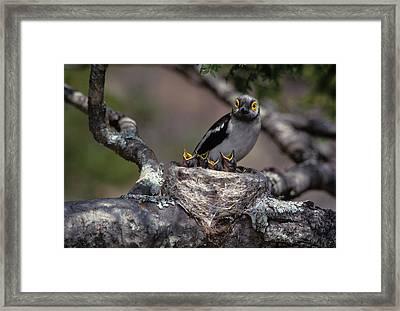 Zimbabwe White Helmutshrike On Nest Framed Print by Jaynes Gallery
