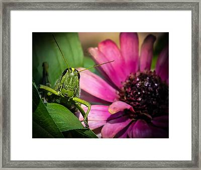 Zinnia Surprise Framed Print by Karen Wiles