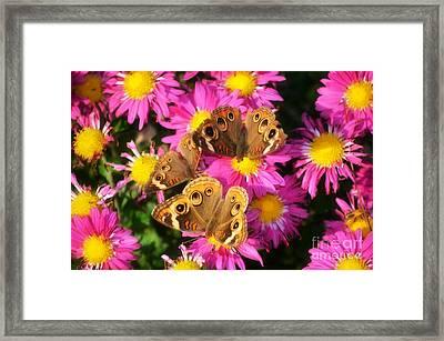 3 Beauty's Butterflies On Mum Flowers Framed Print by Peggy  Franz