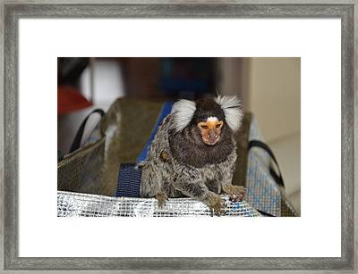 Chewy The Marmoset Framed Print by Barry R Jones Jr