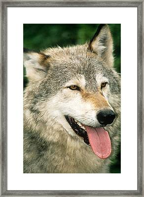 Happy Gray Wolf Framed Print by Larry Allan