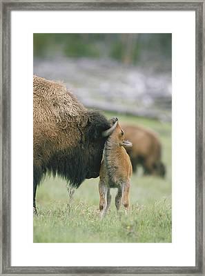 A Female Bison Bison Bison Stands Framed Print by Tom Murphy