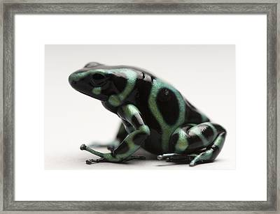 A Green-and-black Poison Dart Frog Framed Print by Joel Sartore