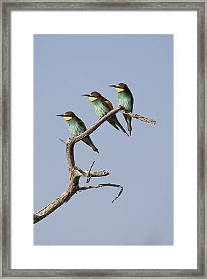 A Group Of Bee-eaters Resting On Branch Framed Print by Roy Toft
