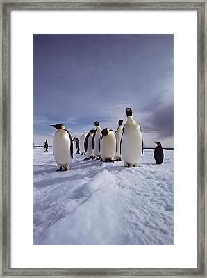 A Group Of Emperor Penguins Framed Print by Bill Curtsinger