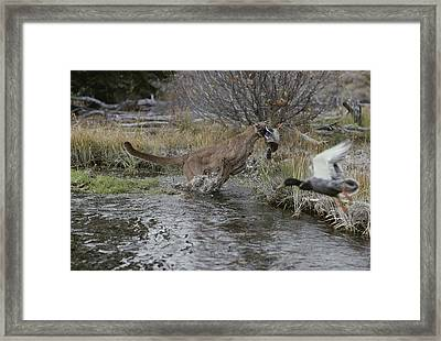 A Mountain Lion, Felis Concolor, Hunts Framed Print by Jim And Jamie Dutcher